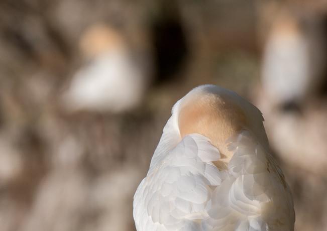 Sleeping gannet By Josh Jaggard