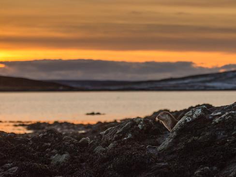Sunset otter By Josh Jaggard