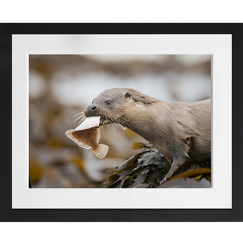 Otter eating a plaice