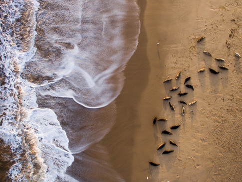 Grey Seals from above by Josh Jaggard