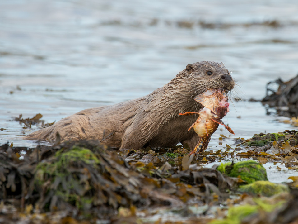Otter with a scorpion fish By Josh Jaggard