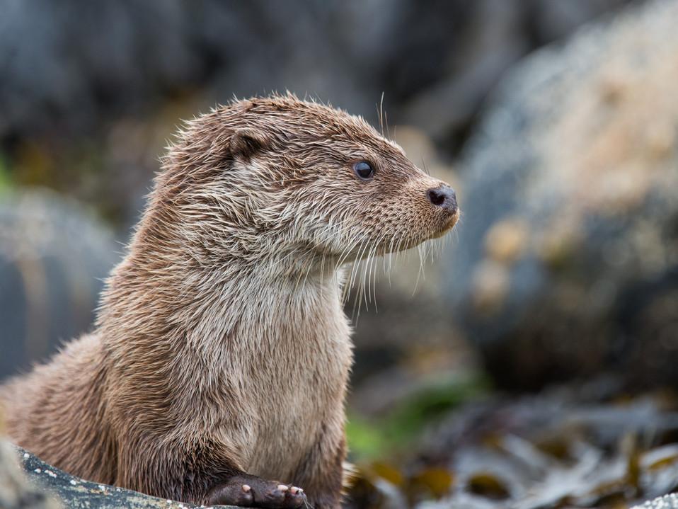 Portrait otter By Josh Jaggard