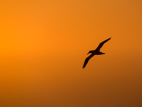 Silhouette of a flying gannet By Josh Jaggard