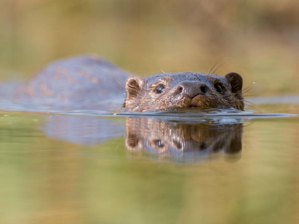 Otter swimming reflection By Josh Jaggard
