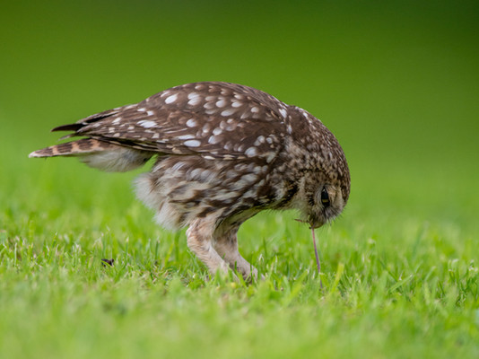 Little owl eating a worm by Josh Jaggard