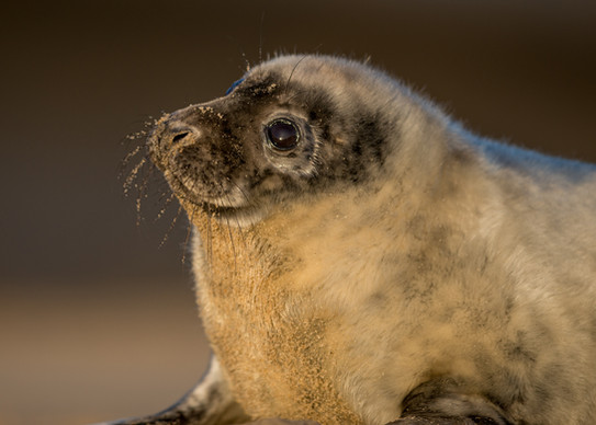 Moulting pup by Josh Jaggard