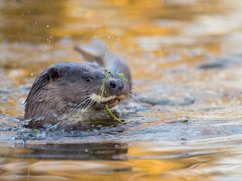 Otter playing By Josh Jaggard