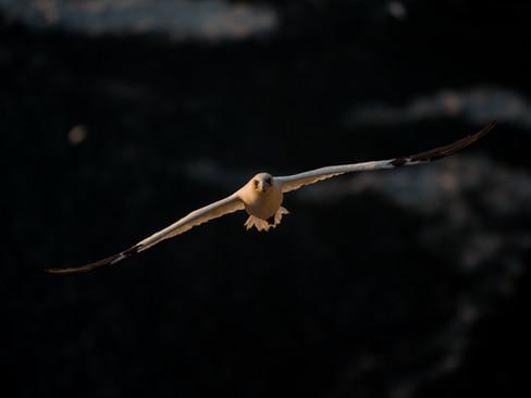 Gannet flight By Josh Jaggard