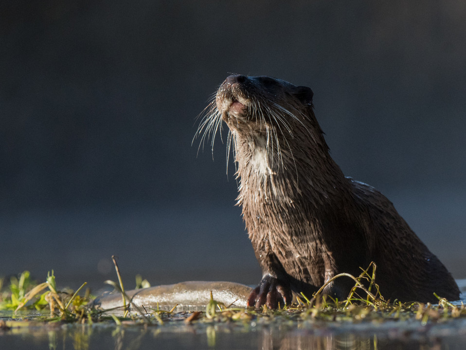 Whiskers of the otter By Josh Jaggard