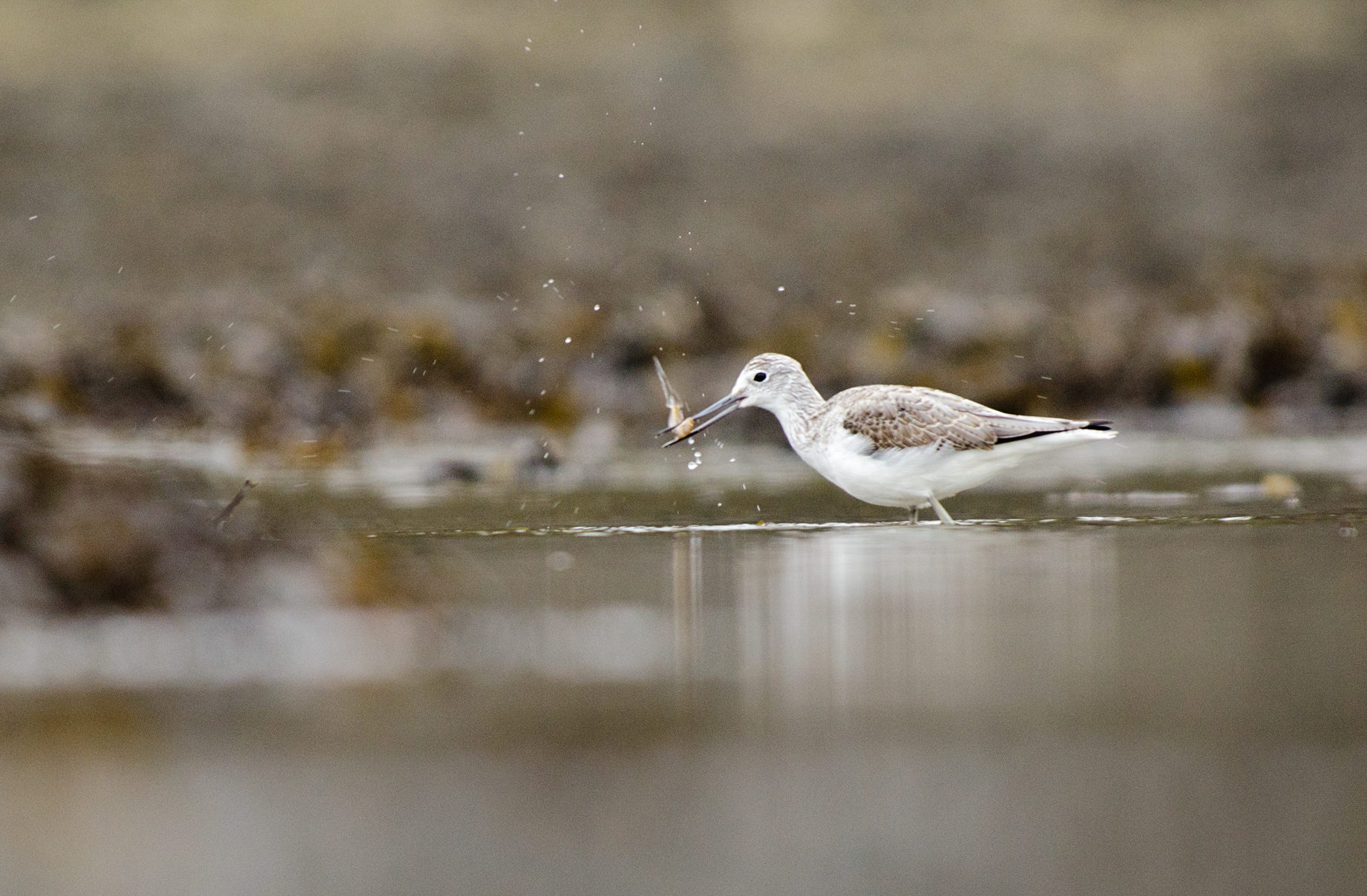 Greenshank from Josh Jaggard floating hide