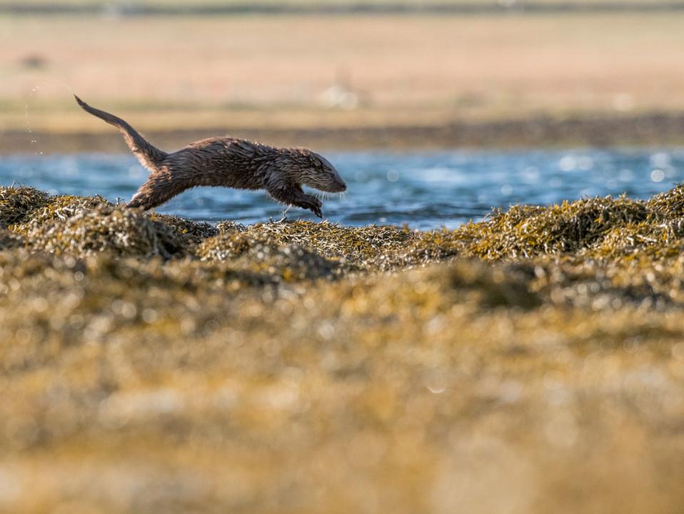 Otter jump By Josh Jaggard
