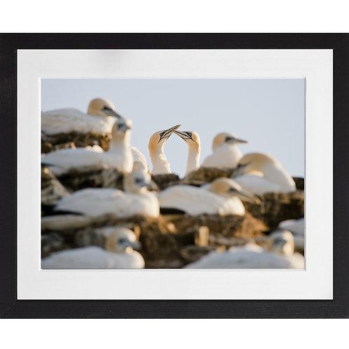 Gannet Courtship 3
