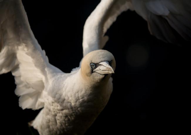 Gannet flapping By Josh Jaggard