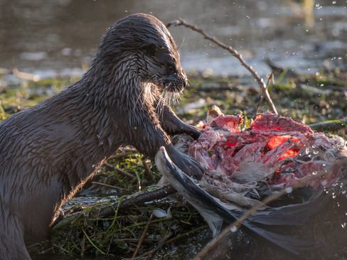 Otter eating an Egytian Goose By Josh Jaggard