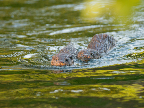 Swimming otter cubs By Josh Jaggard