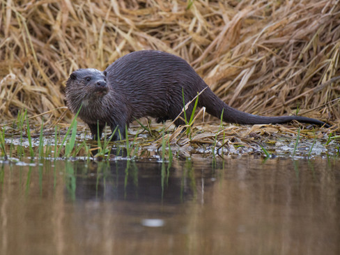 Grass otter By Josh Jaggard