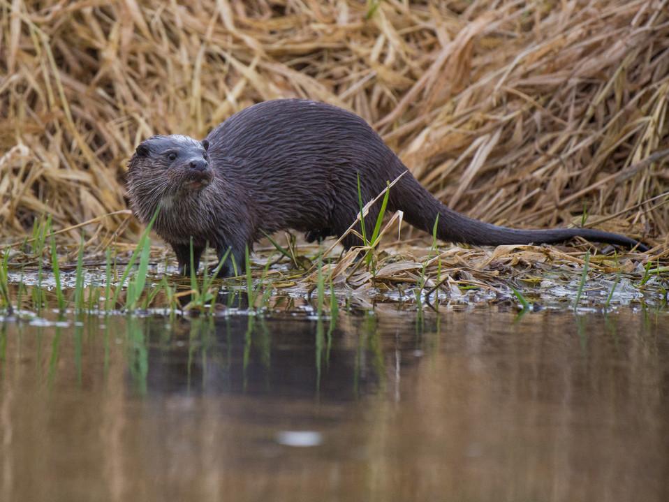 Grass otter By Josh Jaggard