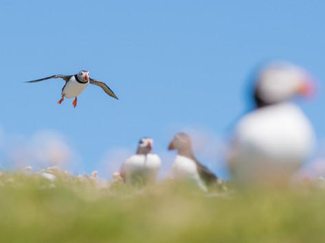 Puffin landing By Josh Jaggard