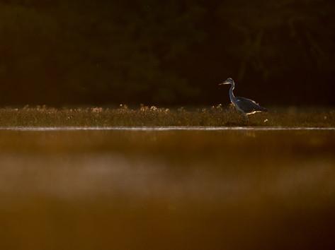 Grey heron By Josh Jaggard