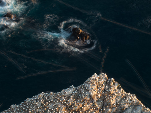 Gannet colony from above By Josh Jaggard