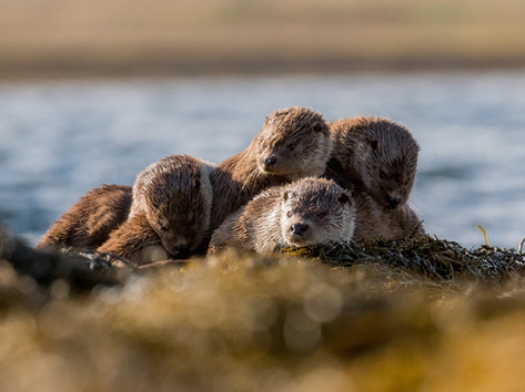 Otter family By Josh Jaggard