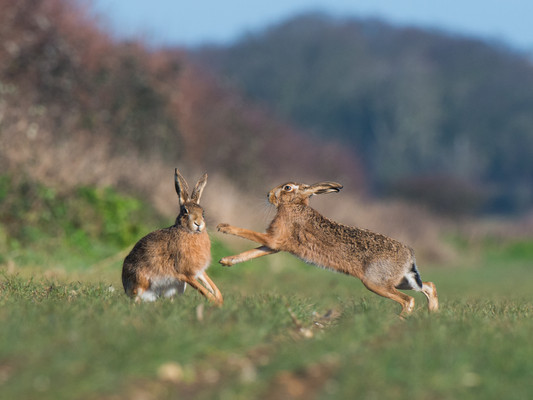 Brown Hares boxing by Josh Jaggard