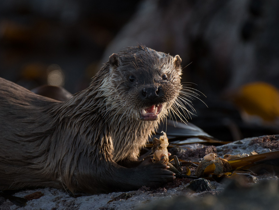 Otter eating a crab By Josh Jaggard