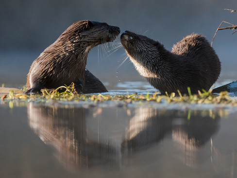 Mum and cub otter reflection By Josh Jaggard