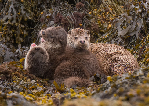 Otter family fight By Josh Jaggard