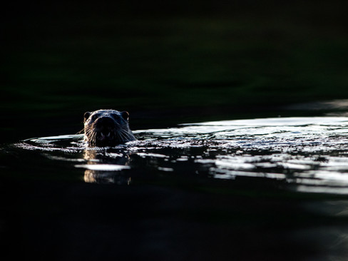 Otter swimming By Josh Jaggard