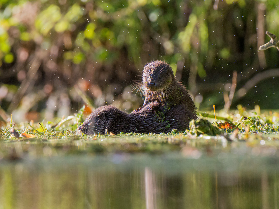 Playful otter cubs By Josh Jaggard