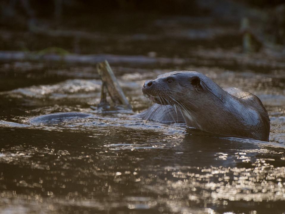 Otter By Josh Jaggard