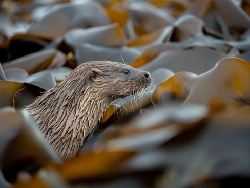 Kelp Otter By Josh Jaggard