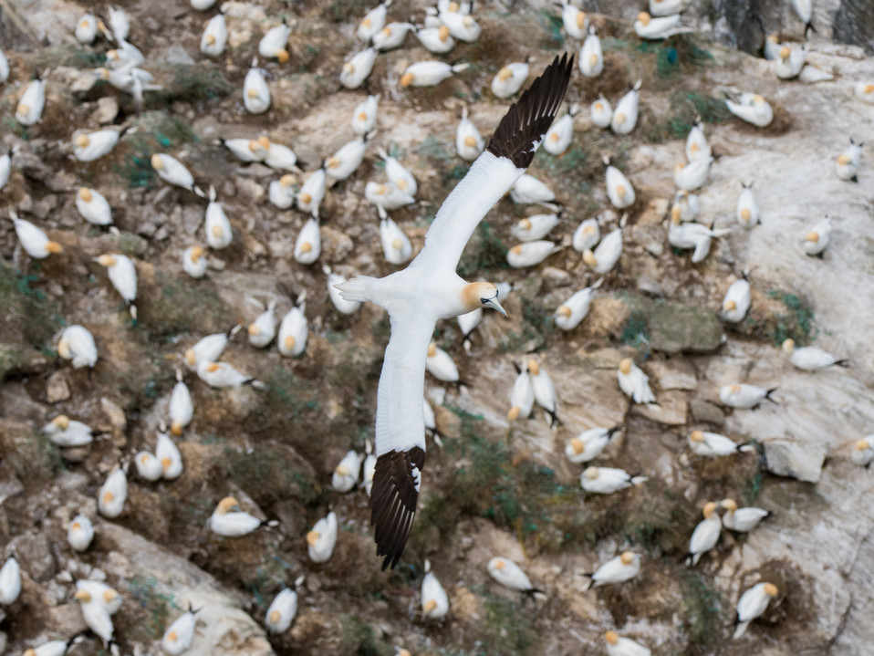 Gannet flying over the colony By Josh Jaggard