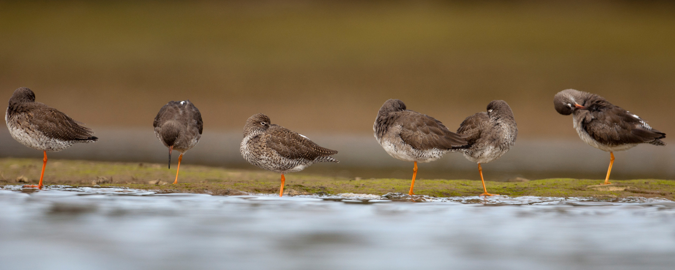 Redshanks from Josh Jaggard floating hide