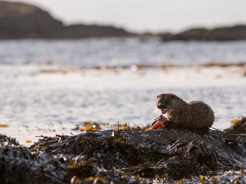 Otter eating on the coast By Josh Jaggard