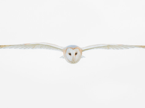 Barn Owl by Josh Jaggard