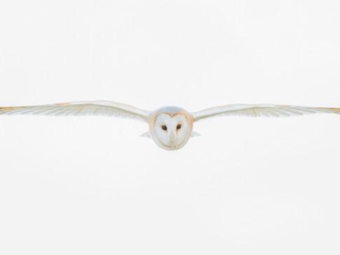 Barn Owl by Josh Jaggard