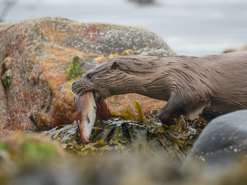 Otter eating a rockling By Josh Jaggard