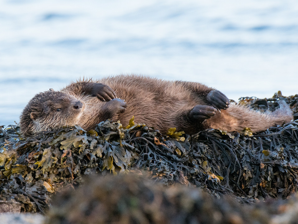 Otter rolling By Josh Jaggard