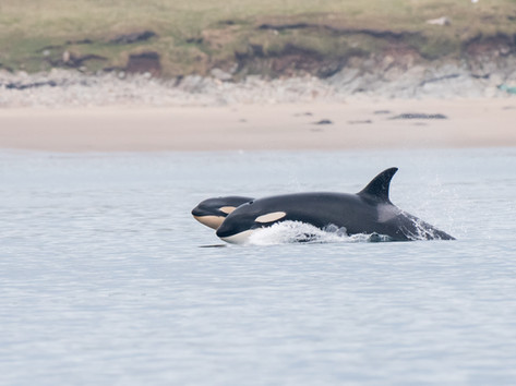 Orca family By Josh Jaggard