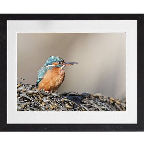 Kingfisher on seaweed