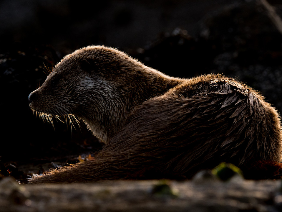 Otter outline By Josh Jaggard