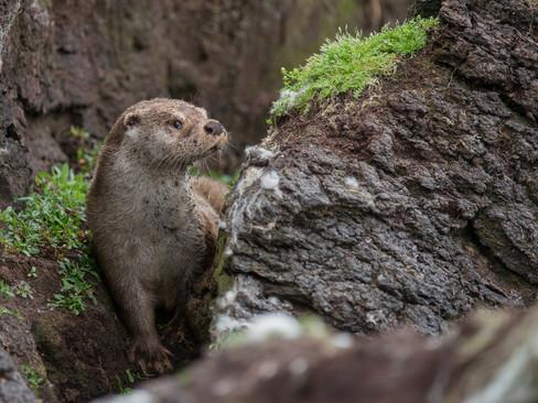 Peat Otter By Josh Jaggard