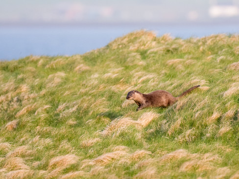 Otter leaping in the long grass By Josh Jaggard