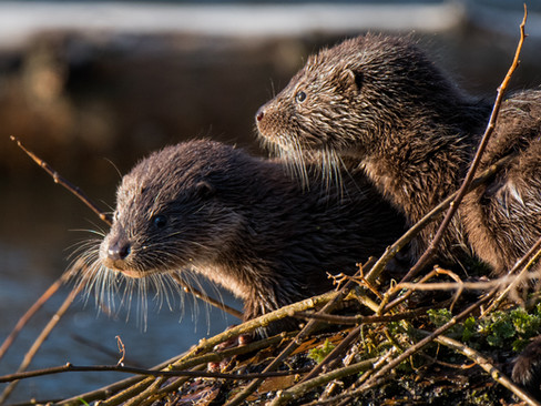 Otter cubs By Josh Jaggard