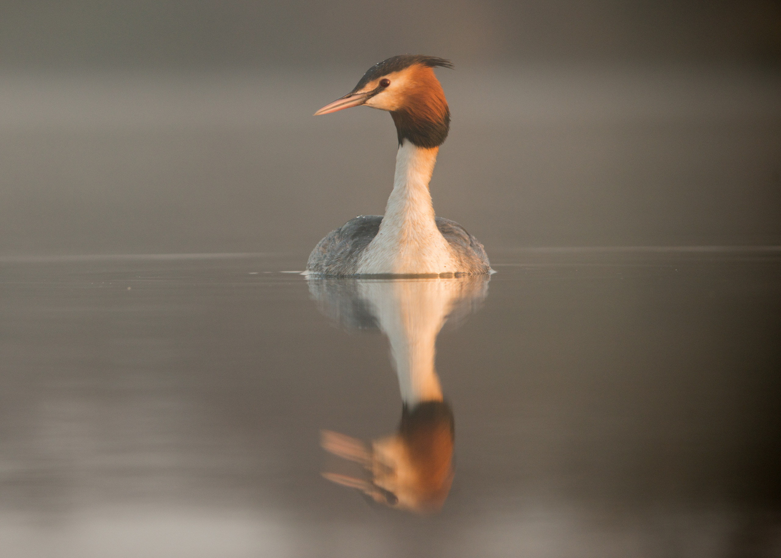 Great Crested Grebe from Josh Jaggard floating hide