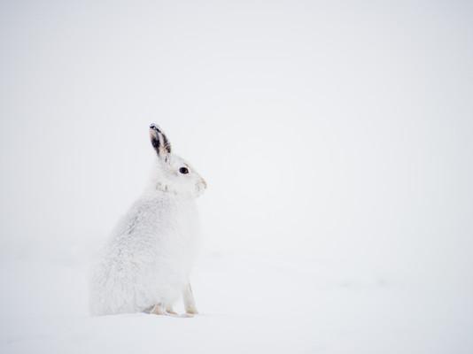 Mountain Hare By Josh Jaggard
