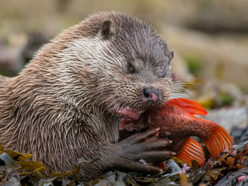 Otter eating a lumpsucker By Josh Jaggard