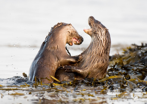 Otter fight By Josh Jaggard